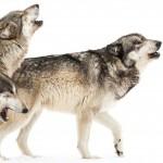 lobo, pablo adan, animales, marca personal