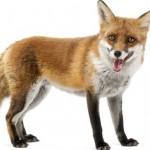 me identifico con un zorro, pablo adan, animales, marca personal -pablo-adan